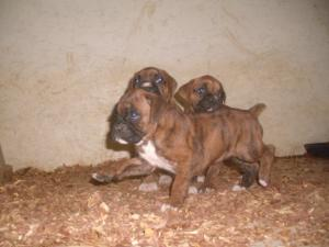 GermanAKCBOXERPUPPIESBRINDLE